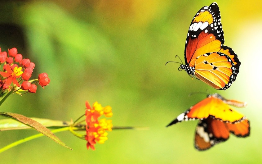 hd-butterfly-with-orange-butterflies-wallpapers-backgrounds